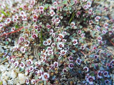 Red-gland Spurge (Euphorbia melanadenia)