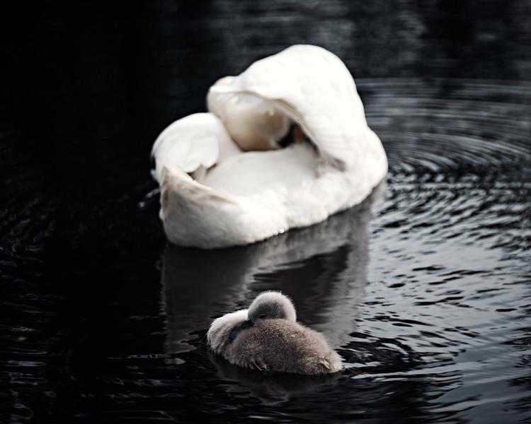 Swans_Of_Castletown028.jpg