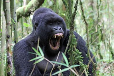 Rwanda - Mountain Gorillas