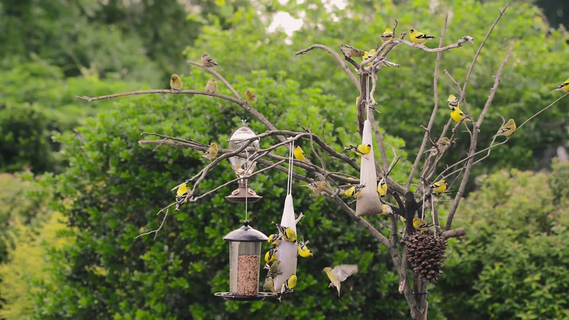 Goldfinches at Feeder-6499.mp4