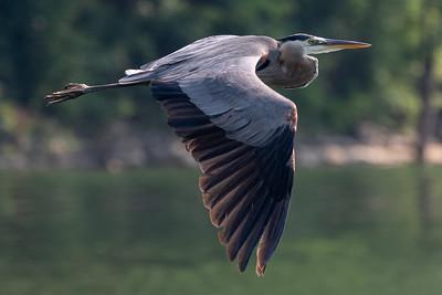 2021 07 Birds Center Hill Lake
