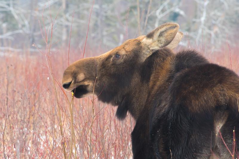 Moose cow yearling in snow Blue Spruce Road Sax-Zim Bog MN DSC02485.jpg
