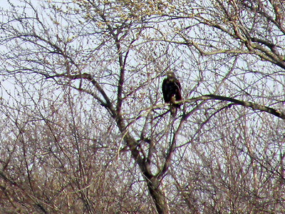 Bald Eagles - Illinois River