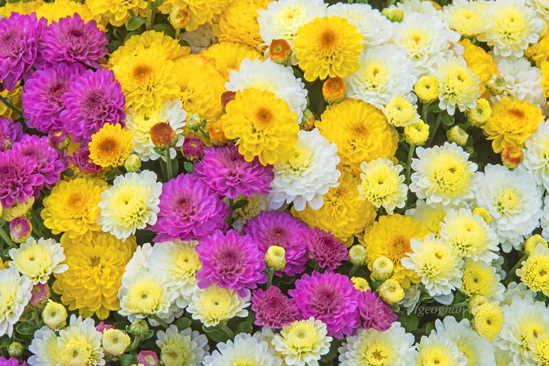 Chrysanthemum Variation