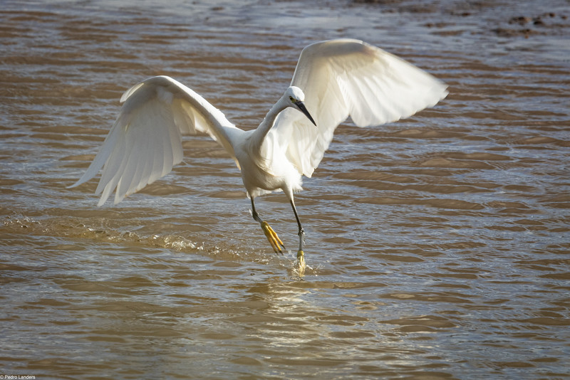 Egret in a Hurry