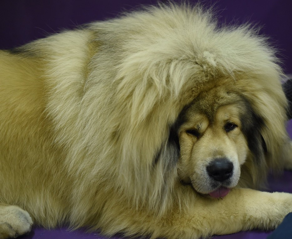 . A Tibetan Mastiff rests in the benching area at Pier 92 and 94 in New York City on the 2nd day of competition at the 139th Annual Westminster Kennel Club Dog Show February 17, 2015. The Westminster Kennel Club Dog Show is a two-day, all-breed benched show that takes place at both Pier 92 & 94 and at Madison Square Garden in New York City.    AFP PHOTO /  TIMOTHY  A. CLARYTIMOTHY A. CLARY/AFP/Getty Images