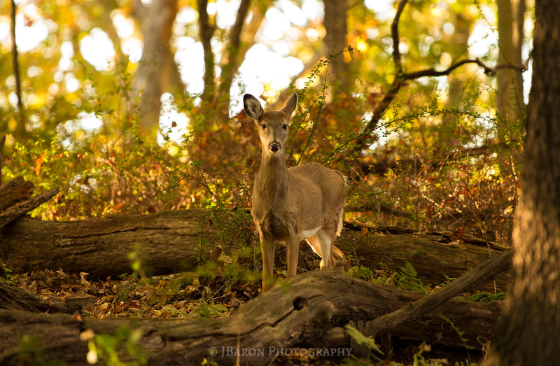 Deer and Golden Sunset at North Park