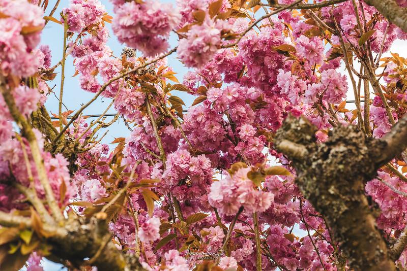 CherryTreeApril2019-12.jpg