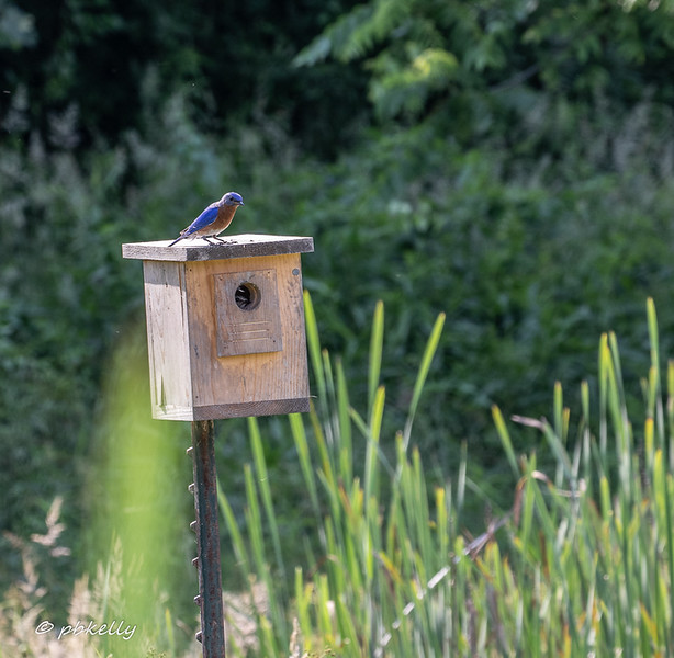 Bluebird on box overlooking the wetland.