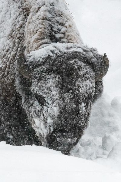 bison snow.jpg