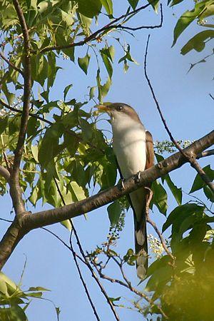 Cuckoo Birds