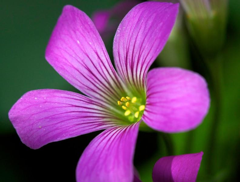 oxalis blossom