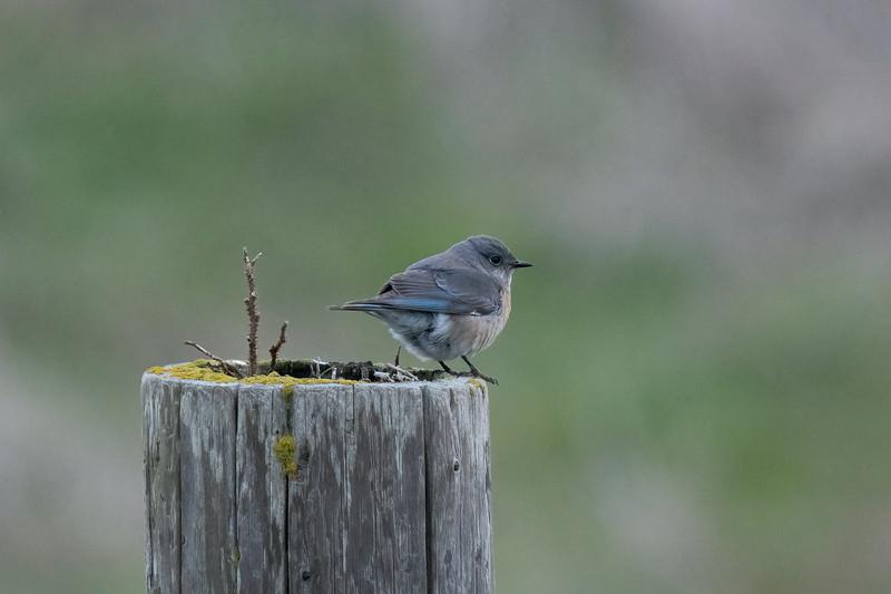 Western Bluebird at Point Reyes