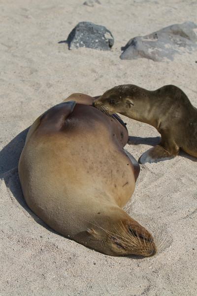 Mom & Pup Sea Lions NSI.jpg