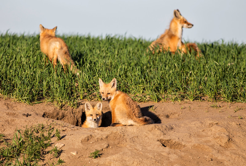 Fox Family Portrait.jpg