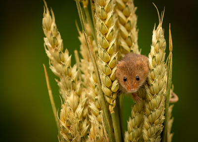 Harvest mice workshop