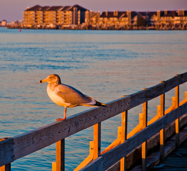 Seagull at sunset, Ocean City, Maryland