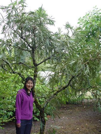 Quercus (Oaks)