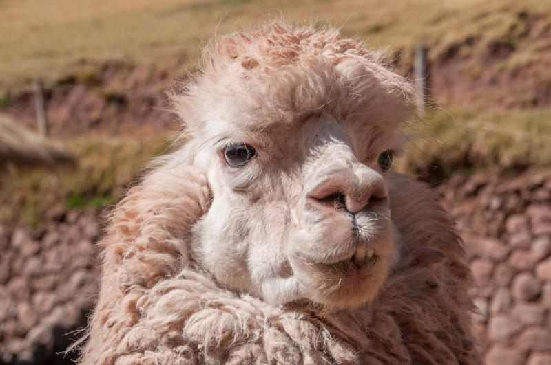 Llamas_Alpacas15.jpg