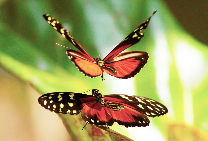 In the Butterfly House:  A pair of butterflies entertain us ...