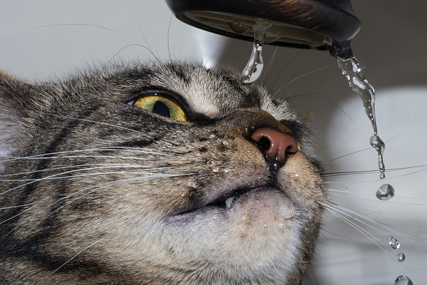 Cat Drinking faucet