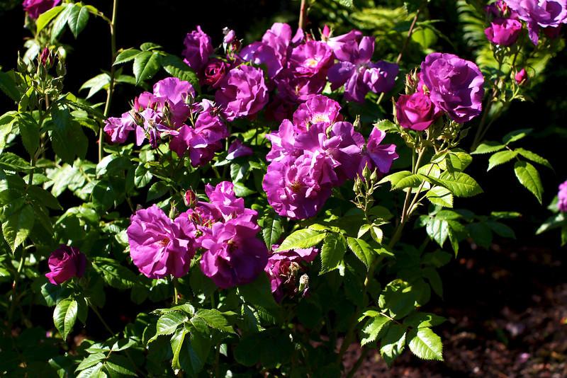 Portland International Rose Test Garden  2201.jpg