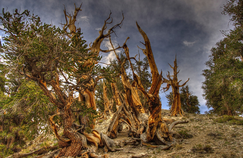 CalifornaiBristolConePinesTop of ForestDSC_4721_2_3_tonemapped.jpg