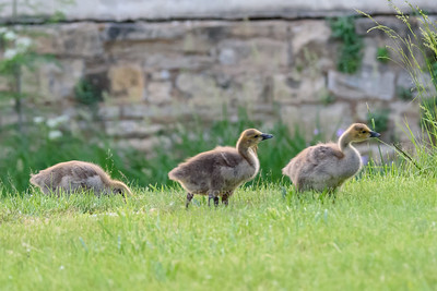 05/29/18 Catty Geese