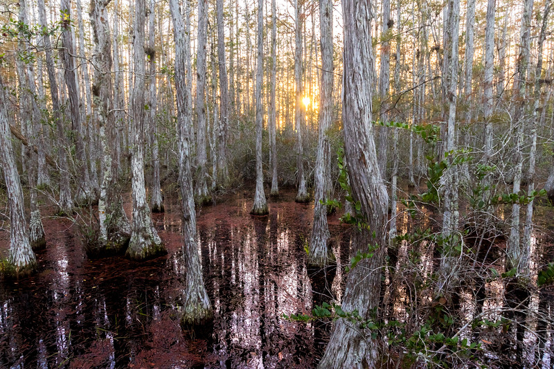 Autumn in a cypress dome swamp
