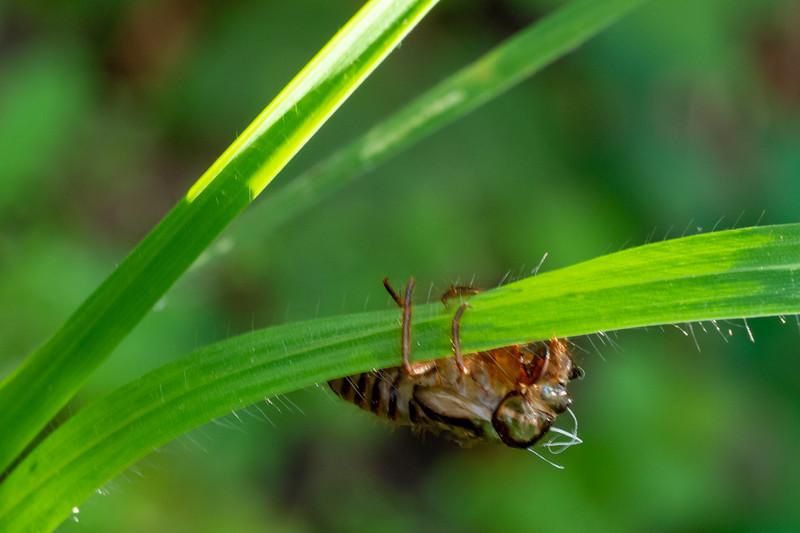 A bee perhaps molting - Los Altos, CA, USA