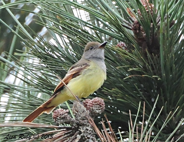 Great Crested Flycatcher - 10/13/13 - FRNC