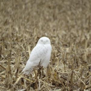 2015 Snowy Owl
