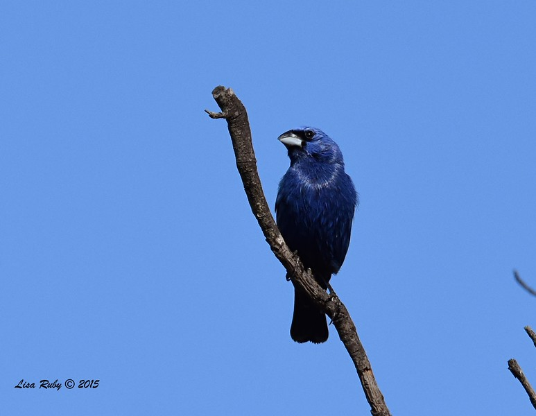 Blue Grosbeak - 5/17/2015 - Lake Hodges