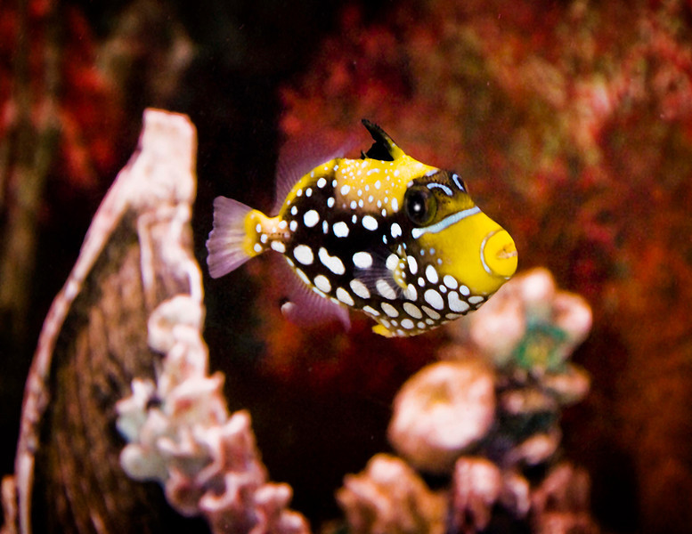 Spotted puffer 026.jpg