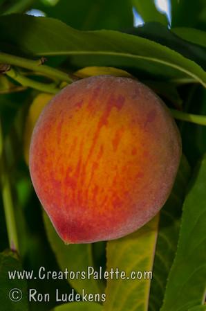 Flordaking Peach - Prunus persica sp.