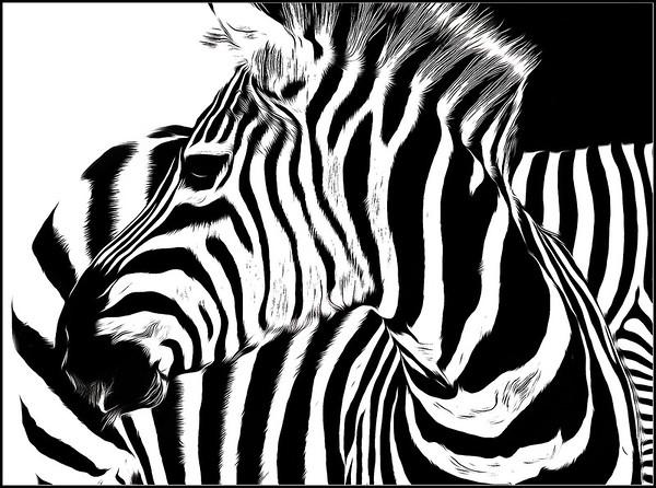 Zebras Fantasy