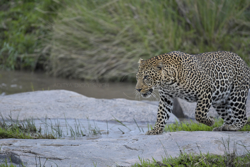 Leopard on the rocks in Africa