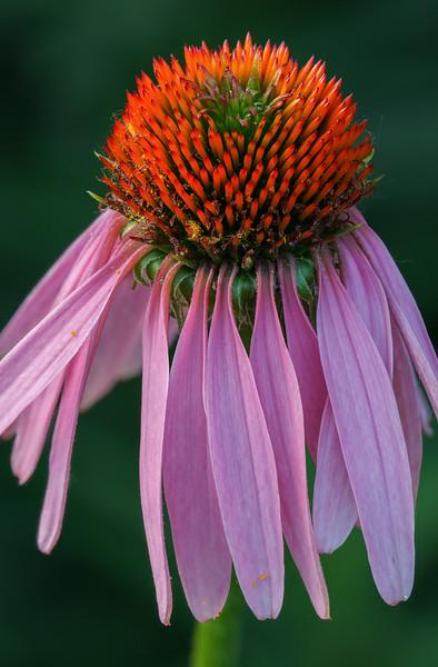 Purple Coneflower-.jpg