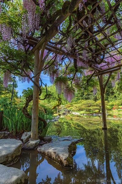 It's Wisteria season at Seattle Japanese Garden