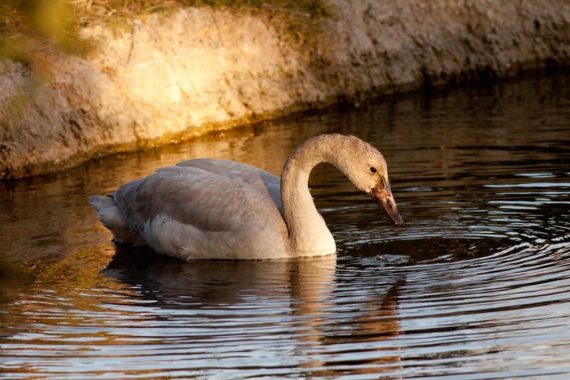 Tundra Swan  Aviara Resort Carlsbad 2009 11 23-5.CR2