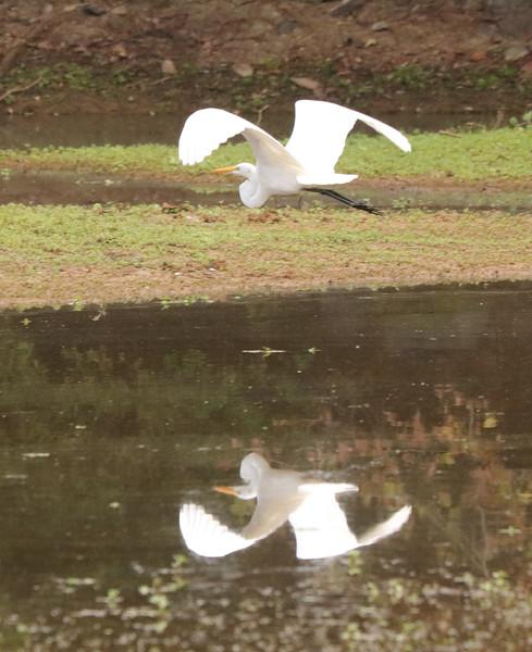Great white egret 54