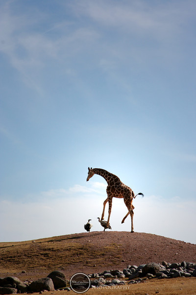 Giraffe and vultures on hill.jpg
