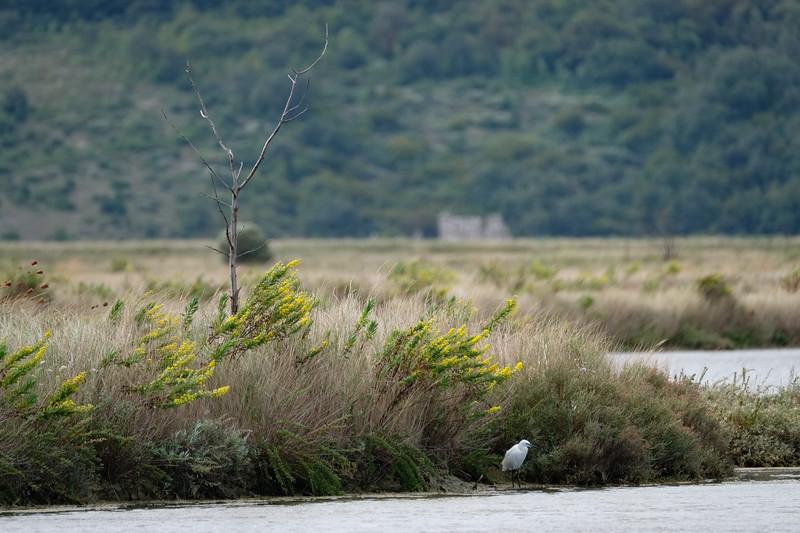 czapla nadobna | little egret | egretta garzetta