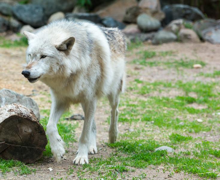 2016 Wolf Institute - Ely, MN-5.jpg