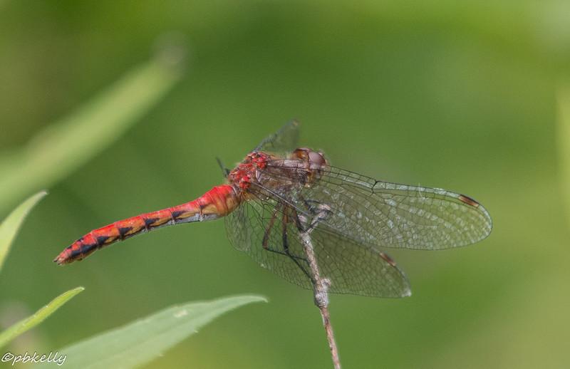 8/14/15.  Ruby Meadowhawk, Sympetrum rubicundulum.