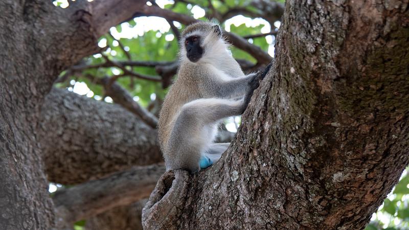 Tanzania-Tarangire-National-Park-Safari-Vervet-Monkey-03.jpg
