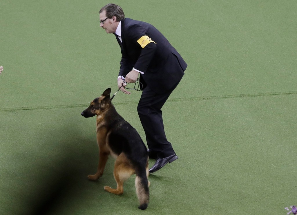 . A handler reacts after Rumor, a German shepherd, won Best In Show at the 141st Westminster Kennel Club Dog Show on Tuesday, Feb. 14, 2017, in New York. (AP Photo/Frank Franklin II)