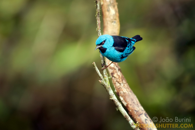 Blue dacnis (Dacnis cayana) in Intervales State Park, Brazil. South-east atlantic forest reserve, UNESCO World Heritage Site.