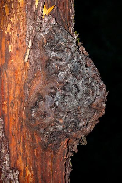 Tree, Los Gatos, California, 2009