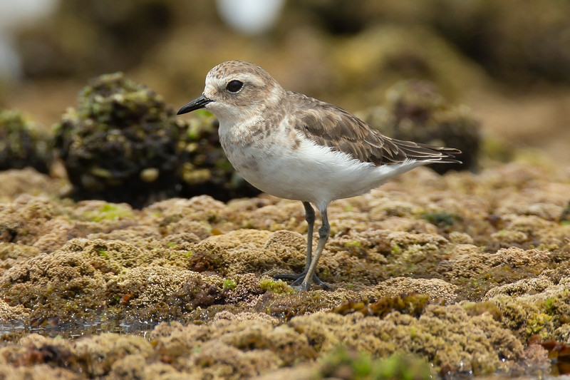 Double-banded Plover non-breeding plumage